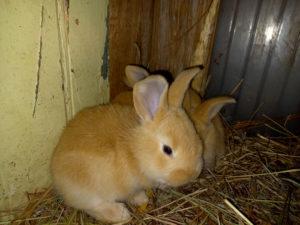 bébé lapin geant couleur fauve