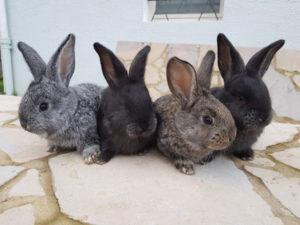bebe lapin geant flandres mignons