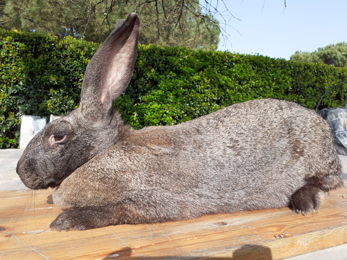 grand lapin geant des flandres