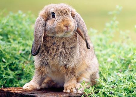 le guide du lapin belier