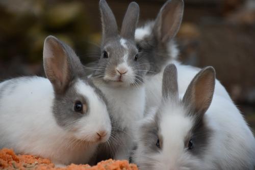 Habitat lapins nains