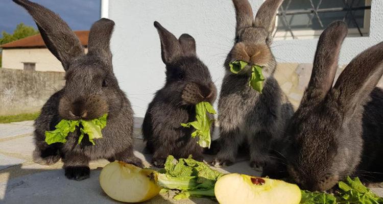 lapin grandes oreilles qui mangent