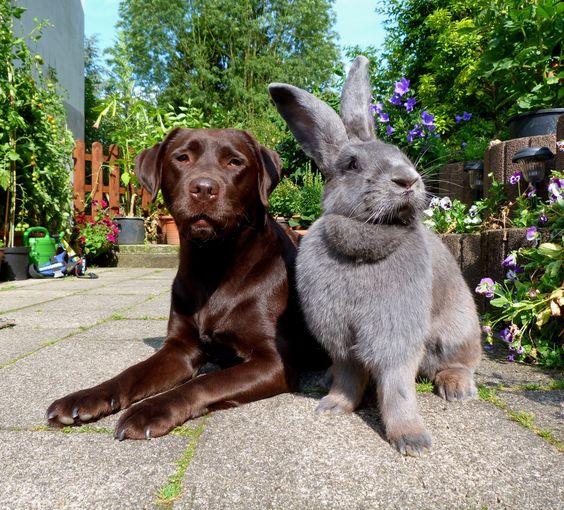 lapin geant avec chien