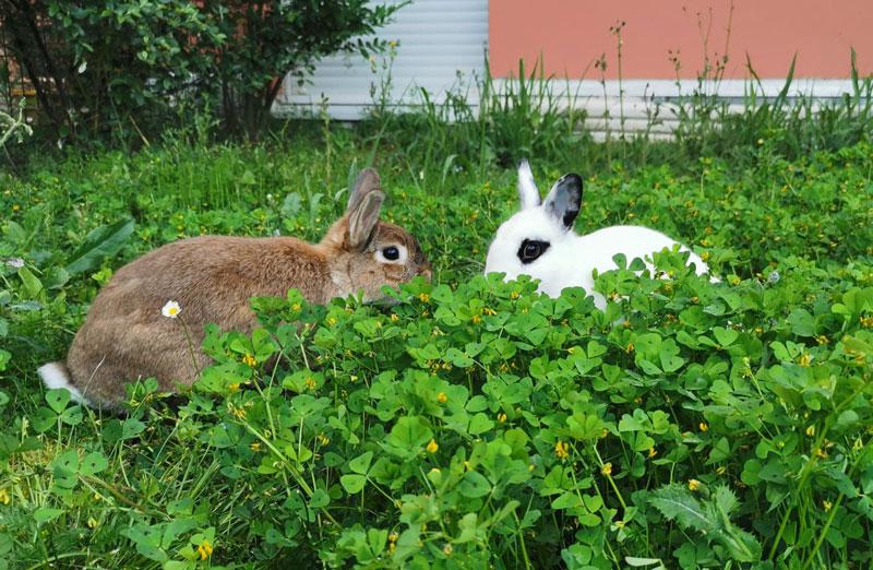 Enclos extérieur lapin nain