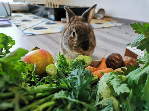 que mange les lapins nain